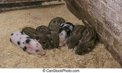 pig in a pigsty - Pigs on livestock farm Pig farming