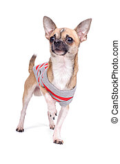 dressed chihuahua dog - pose of chihuahua isolated on a...