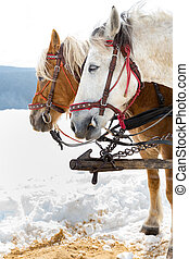 Horse sledge, alternative winter transport, tourist...