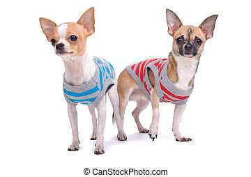 two playful chihuahua dogs
