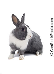 grey and white rabbit isolated on a white background