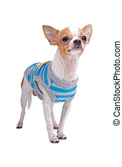 one sweety chihuahua dog - one chihuahua male dressed,...