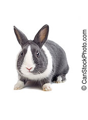 white and grey bunny isolated on a white background