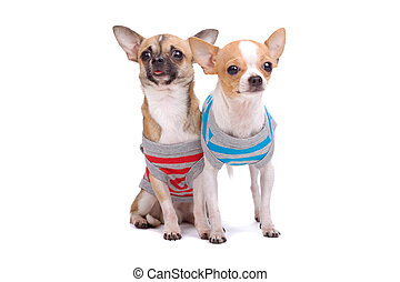 little chihuahua dogs