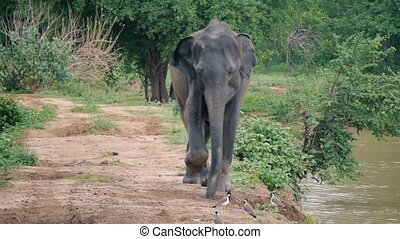 Elephant running to camera in Sri lanka national park