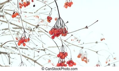 ashberry and snow in the winter - Clusters of rowan berries...