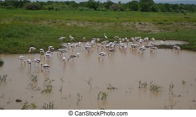 flock of flamingos crowded together searching for food