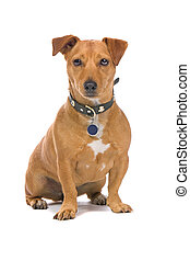 brown jack russell terrier - closeup of brown jack russell...