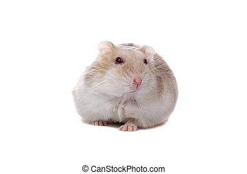 little white hamster - little white hamster isolated on a...