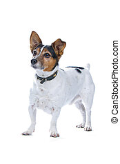 Jack Russell Terrier - A forward looking Jack Russell...