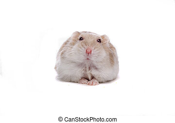 little white hamster isolated on a white background