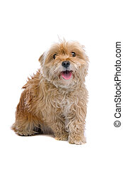 mixed breed dog - hairy little mixed breed dog isolated on a...