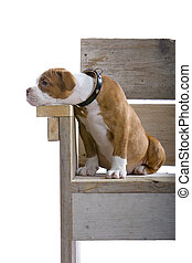 puppy boxer sitting on a wooden bench