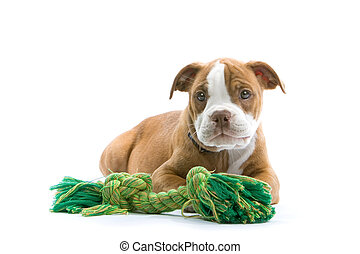 puppy Boxer resting - puppy boxer and a green toy on a white...