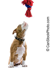 puppy Boxer playng - puppy Boxer playing with a toy,...