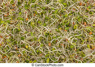 Sprouts - Mix of green young sprouts for background