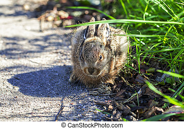 Hare - cowering - Hare - young animal cowering on the...