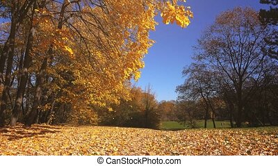 Shedding autumn leaves falling in park from the trees,...