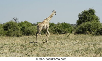 Giraffe in Africa - Tall Giraffe seen on safari in Chobe...