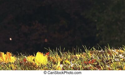 Slider shot of autumn leaves fall - Slider shot of shedding...