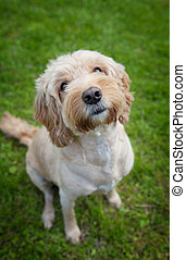 A cockapoo dog
