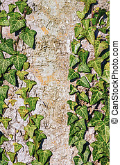 The English Ivy - Green English Ivy over the Old Tree