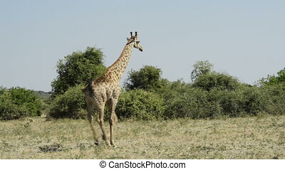 Giraffes in Africa - Tall Giraffe seen on safari in Chobe...