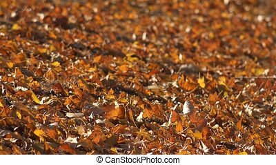Ground covered with fallen leaves - Ground covered with...