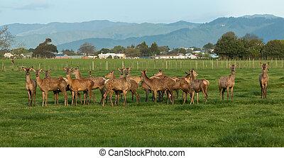 Herd of New Zealand Deer