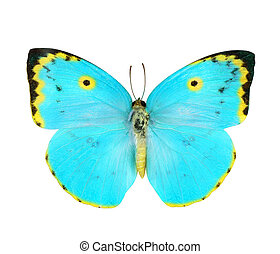 Blue and Yellow butterfly isolated on white - Blue and...