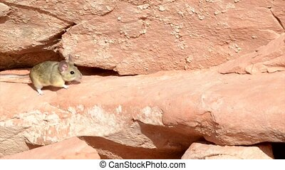 Running Mouse - Little mouse running along sandstone wall...