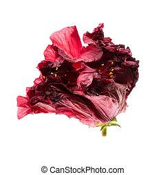 back lit flower - back lit red natural flower close up