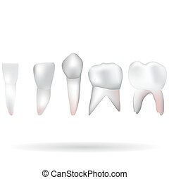 teeth set - an isolated vector illustration of a set of...