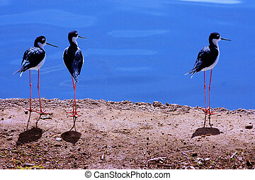 Black Necked Stilts stand by the water in a wetlands...