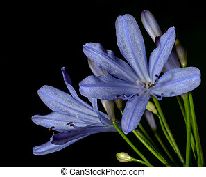 Agapanthus Blooms - Beautiful agapanthus blooms stand out...