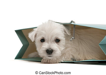 Little fur present - A west highland white terrier puppy is...
