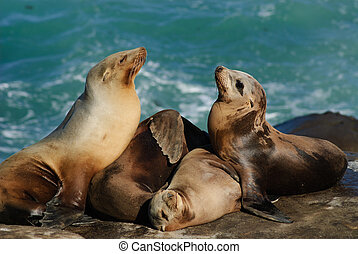 California Sea lions (Zalophus Caslifornianus) - Two Sea...