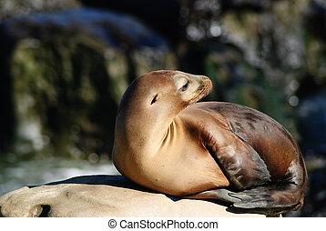 California Sea lions Zalophus Caslifornianus - A Sea Lion...