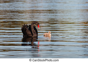 black swan with cygnet swimming on lake