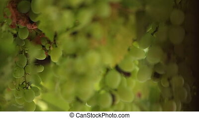 bunches of grapes in the rain
