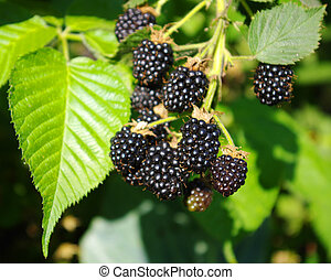 blackberry growings in a garden