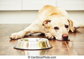 Hungry dog - Hungry labrador with empty bowl is waiting for...