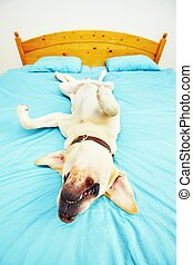 Dog is lying on the bed - Dog is lying on back on the bed -...