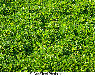 Texture of green grass in summer