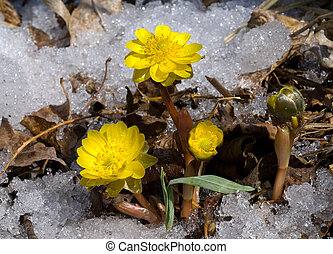 Flowers among Snow 16 - A close-up of the first flowers...