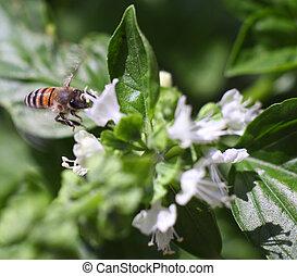 Dwarf honeybee in flight