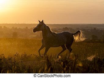 Arabian horse running in the backlight of sunset