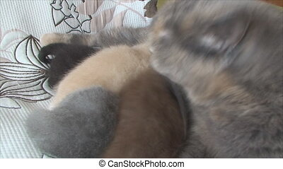 newborn kittens feeding and caring cat - n the bedroom on...