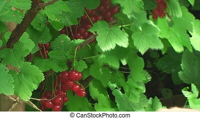 The red currant Bush in the foreground a mans hand which...