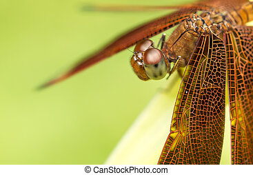 Macro of dragonflys head, side vie - Macro shot of a...